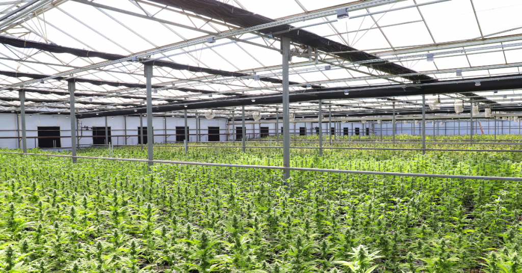 cannabis farm using pesticides in production